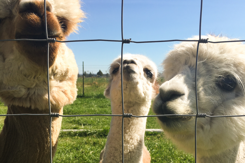 alpaca-laughs-2-1