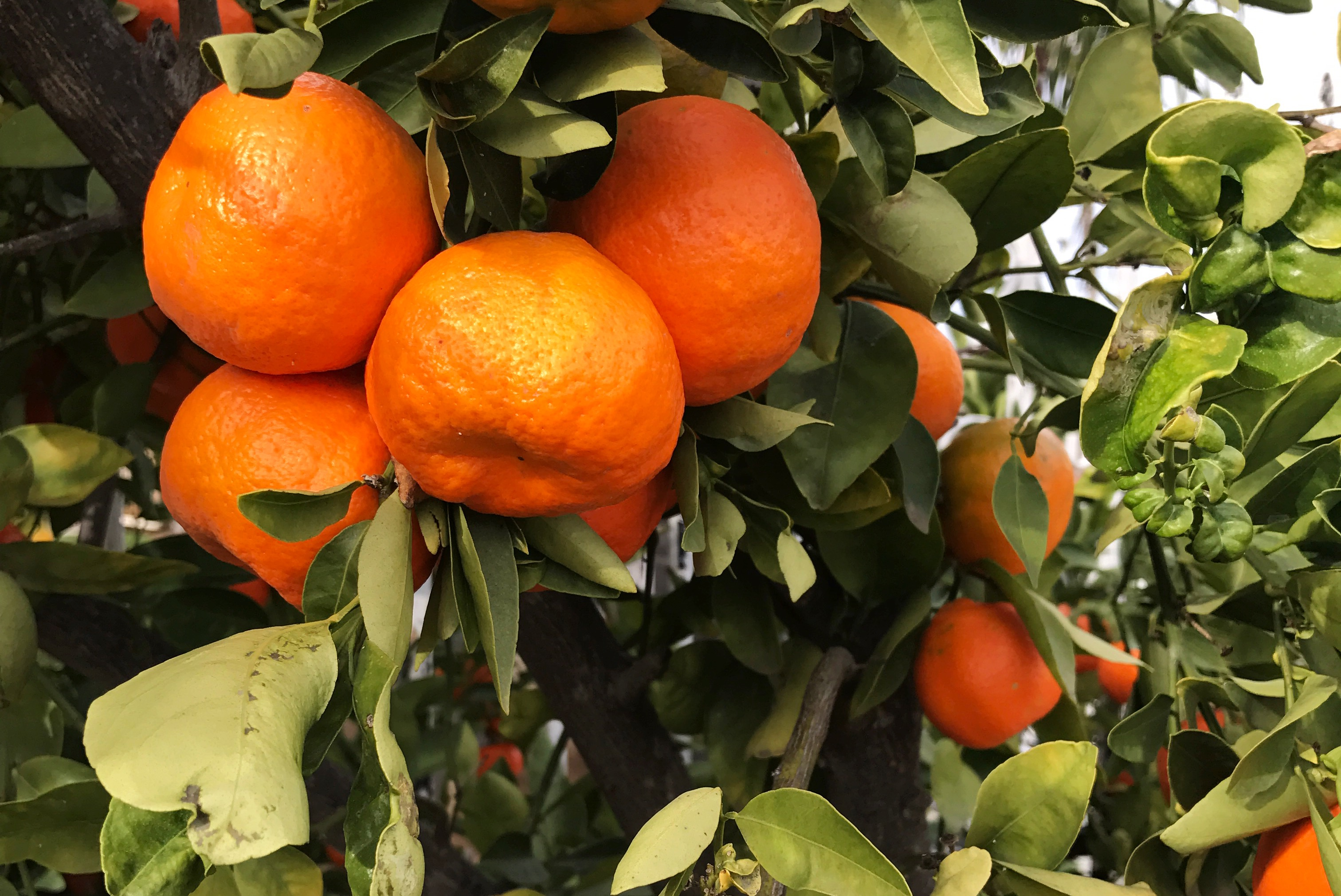 basket-of-tangerines
